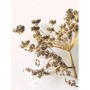 Wild Fennel Seeds | 10g
